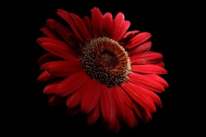 red-daisy-macro